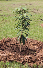 A planted tree in the Amazon